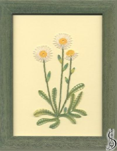 Blossom-aster alpinus No. 10127 